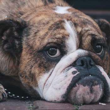 haftpflichthund